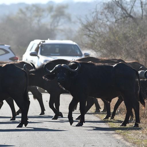 עדר הבופאלו עוצר את התנועה
