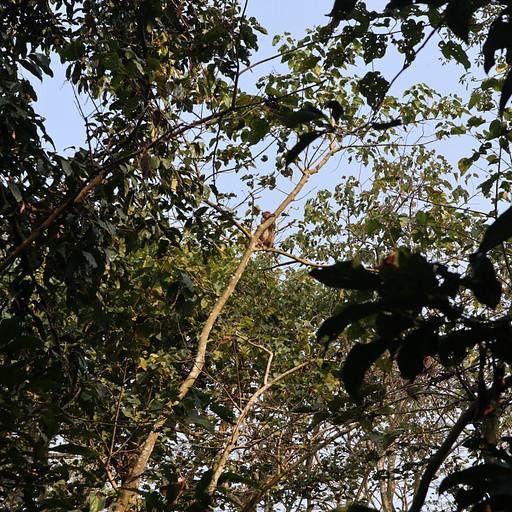 קופים על העצים