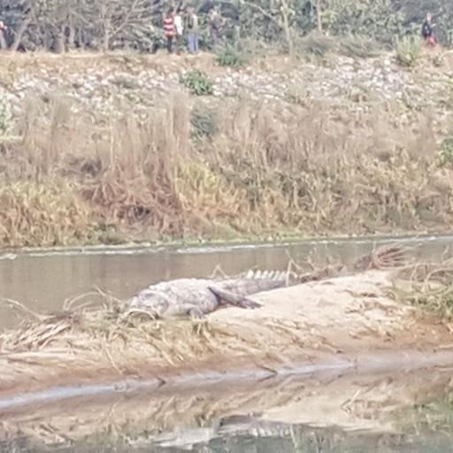 תנינים נחים להם ממש בקרבת הכפר
