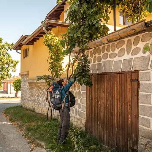 גפנים שזולגות לרחוב מעבר לחצרות הבתים
