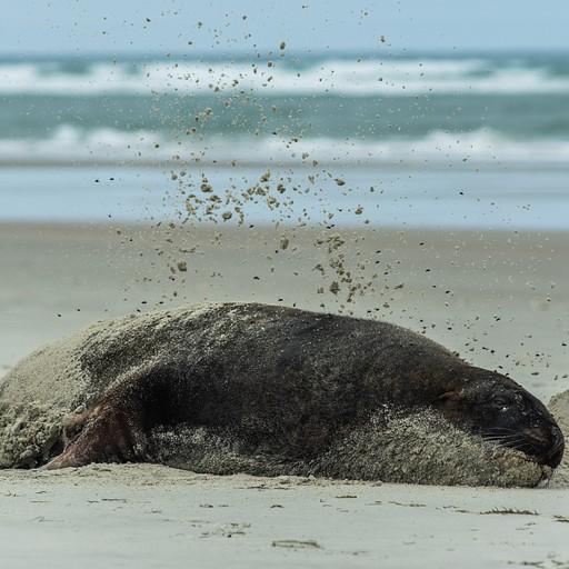 אריה ים זורק על עצמו חול עם הידיים