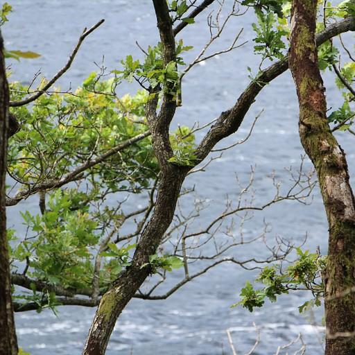 יער לוך לומונד