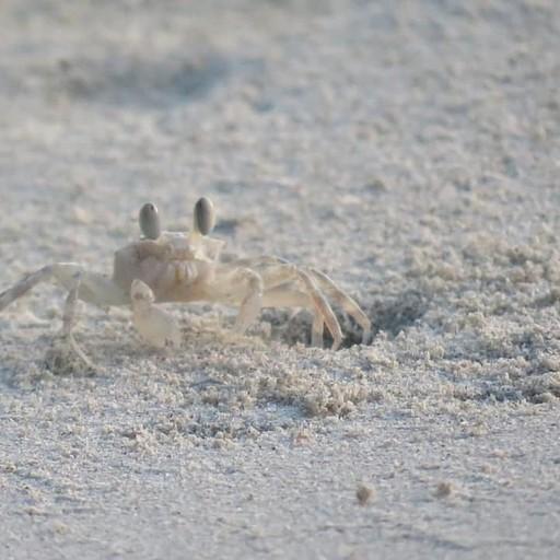 תופעה מדהימה בחופים! מליוני סרטנים קטנים שיוצרים מחילות קטנות  שנראות כמו שמשות על החוף