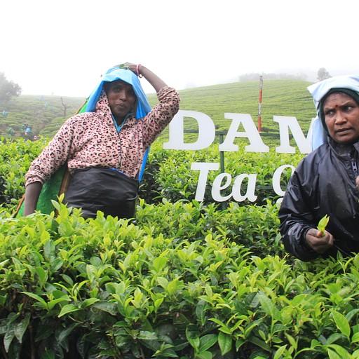 1 Damro Tea Plantation