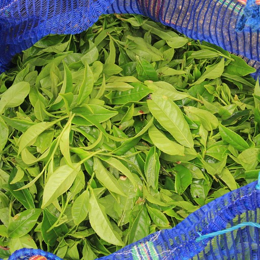 Damro Tea Plantation 2