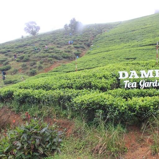 Damro Tea Plantation 4