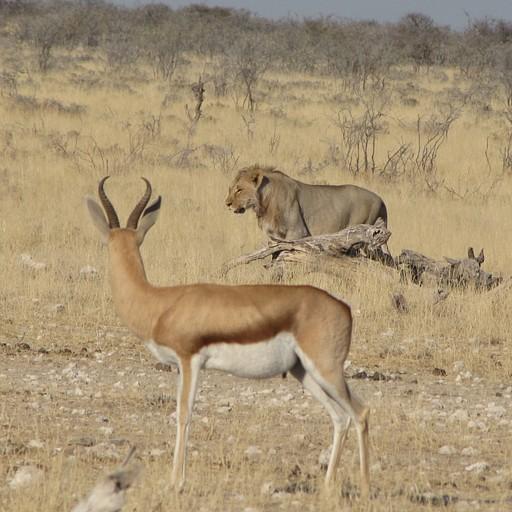 הצבי קלט את האריה