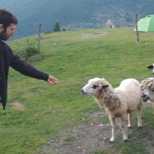 כבשים ראסטאפריות בהרים שמעל פֶּיֶיה