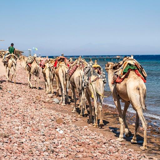 שיירת גמלים חוצה את החוף מול אתר הצלילה