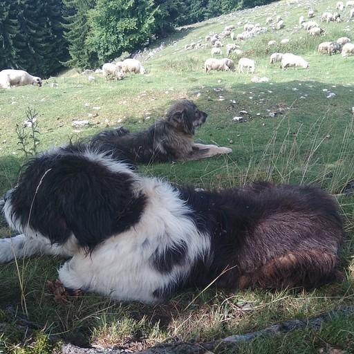 כלבי הרועים העצומים שכמעט אכלו אותי