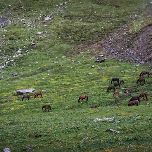עדרים של סוסים מסתובבים חופשי