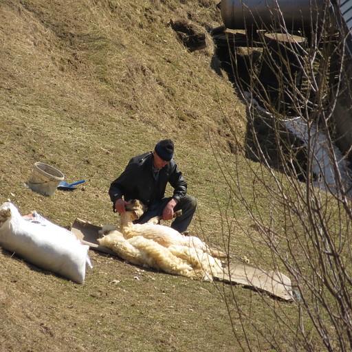 גזיזת הכבשים אחרי החורף