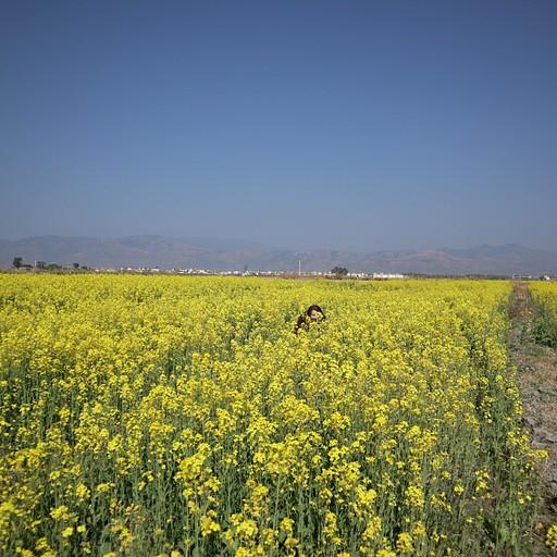 שדות צהובים מסביב לאגם