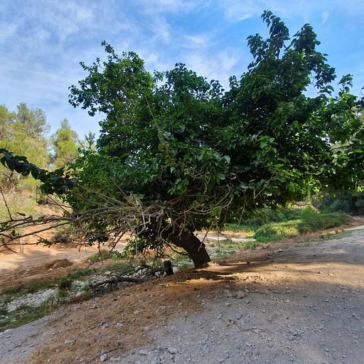 עץ התות הענק לפני עין ערבות
