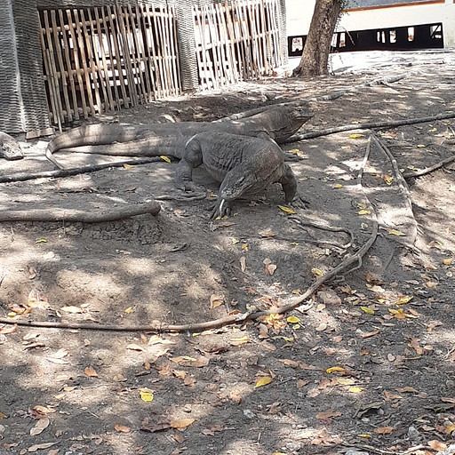 דרקוני קומודו בrinca island