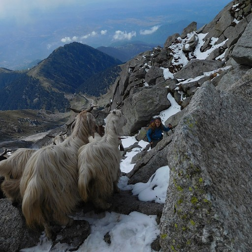בזמן העלייה פגשנו עדר עיזים שירד מהפאס