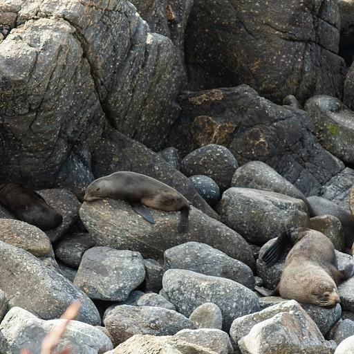 כלבי ים בשנת צהריים במושבה
