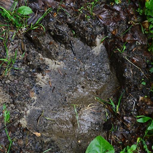עקבה גדולה של דוב