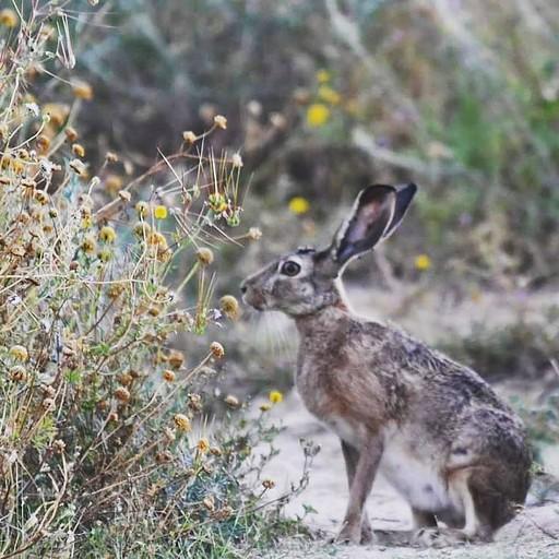 ארנבת מצויה