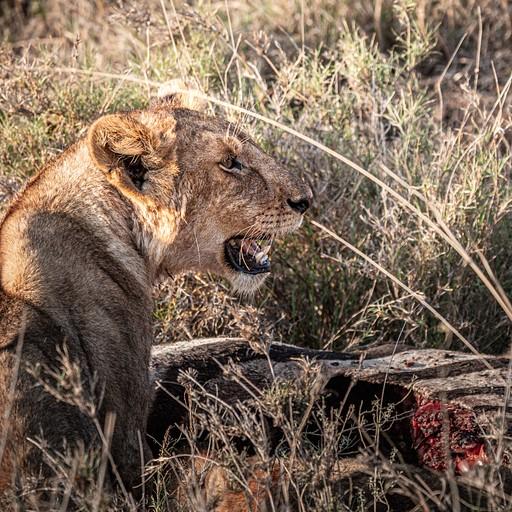 אריות סועדים זברה