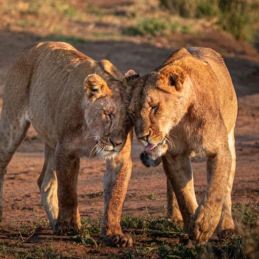 זוג אריות אוהבים