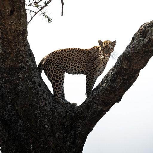 נמר על העץ במרחק כמה עשרות מטרים מאיתנו