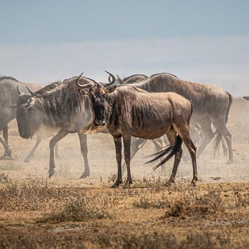 עדר נודד של עשרות גנו מעלה אבק בהליכתו