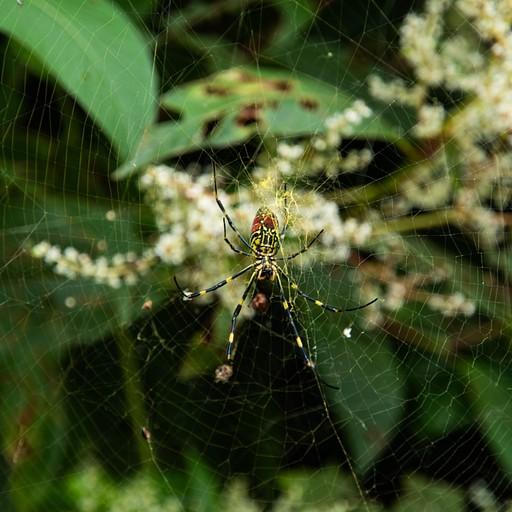 עכביש צבעוני שכיח באיזור