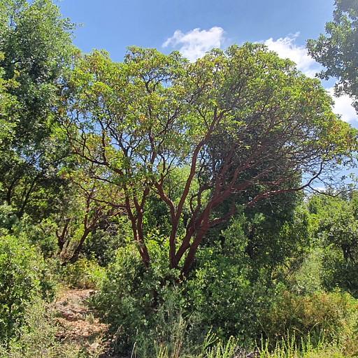 עץ קטלב לאורך העלייה
