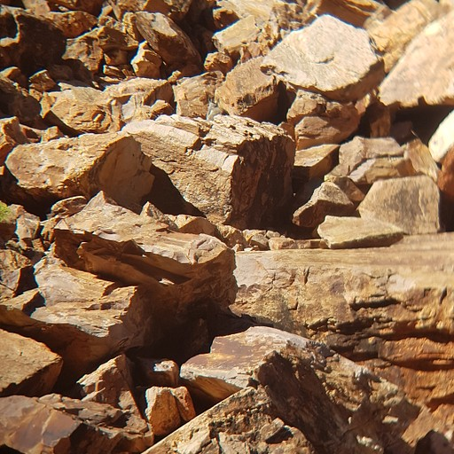 Black-footed Rock-wallabies