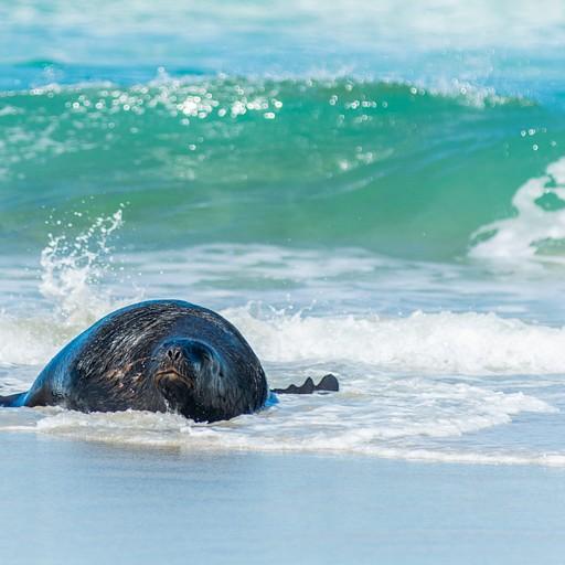 אריה ים יוצא מהמים בחוף הסנדפליי