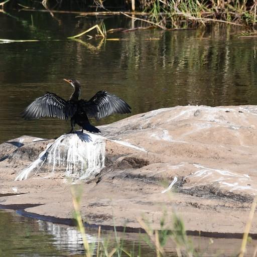 קורמרן בנהר הסאבי