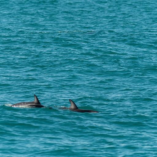 דולפיני הקטור