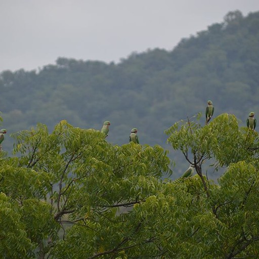 להקת דררות בפסגות העצים ביער שמסביב לרנקפור