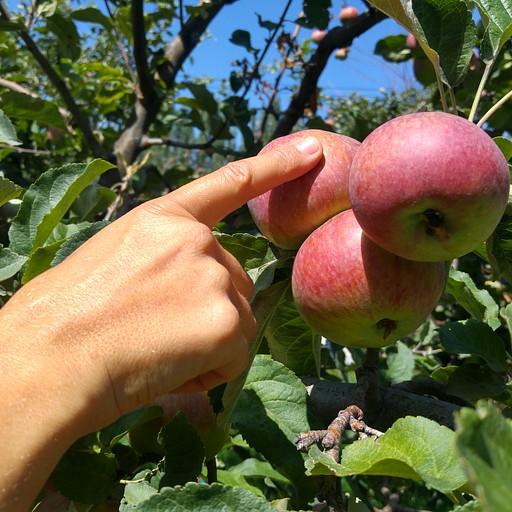 מלא עצי פרי בחצרות הבתים