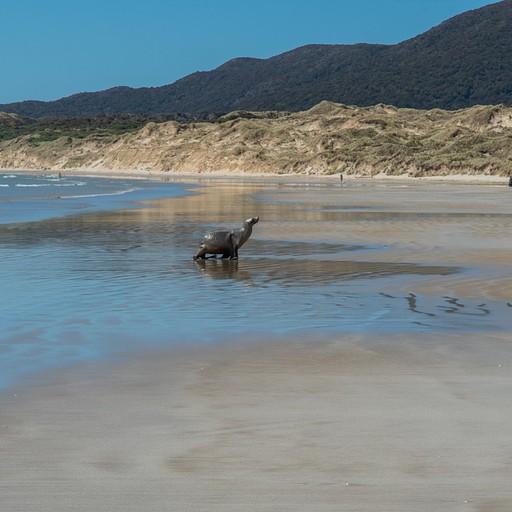 Leopard seal יוצא מהמים