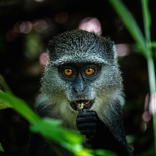 קוף כחול ביער ג'וזאני, אחד משני זני הקופים המקומיים