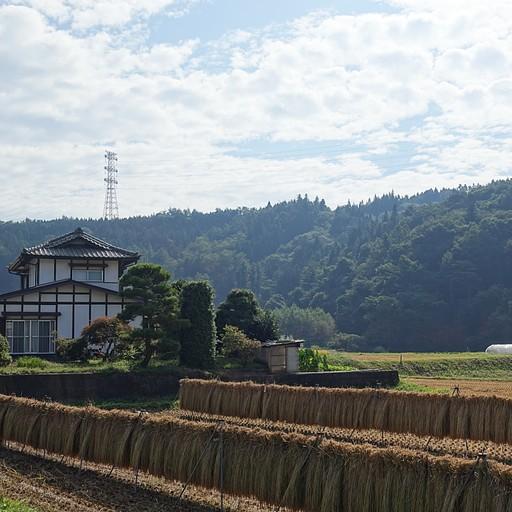 יבוש אורז מסורתי
