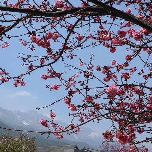 האביב בתפארתו, שווה לקפוץ לאוניברסיטה שם יש שדרות שלמות של עצים ורודים באביב