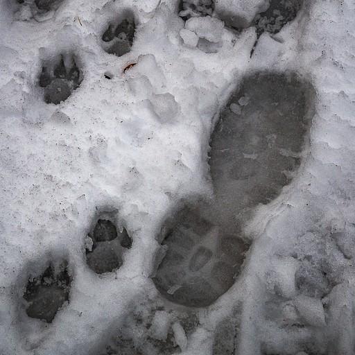 הולכים בשביל הדובים ולא, אלו לא עקבות כלבים...