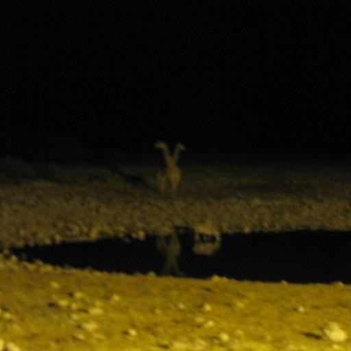 ג'ירפות מגיעות בלילה לשתות