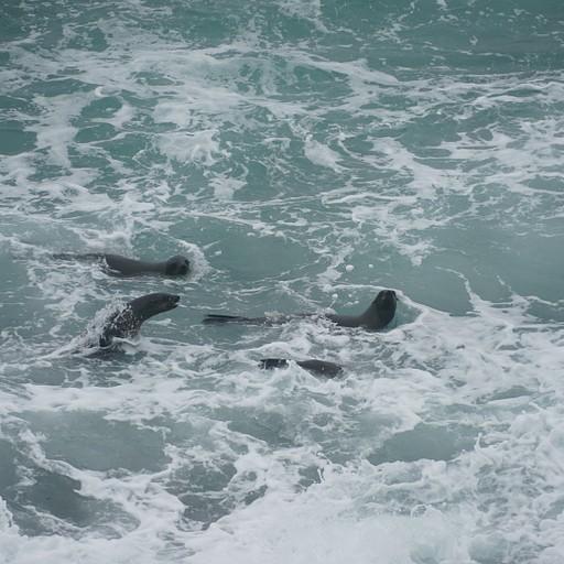 כלבי ים מנסים לצוד דגים