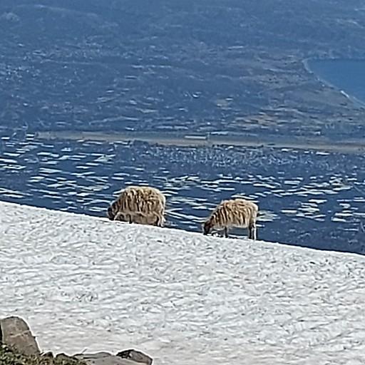 כבשים שותות מהשלוגיות