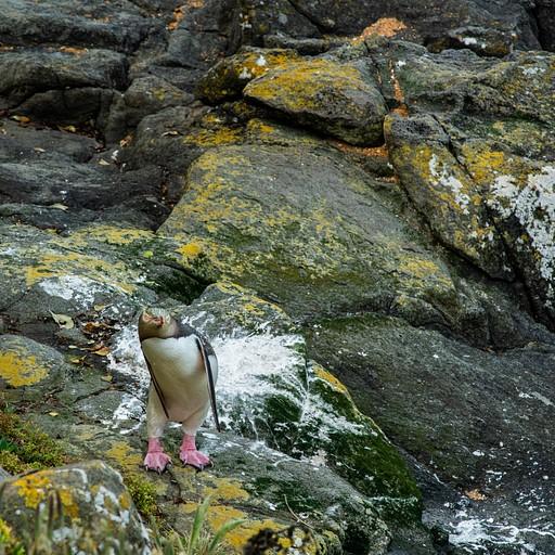 פינגווין מתמתח