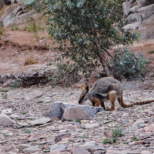 Yellow Footed Rock Wallaby, רכס הפלינדרס.