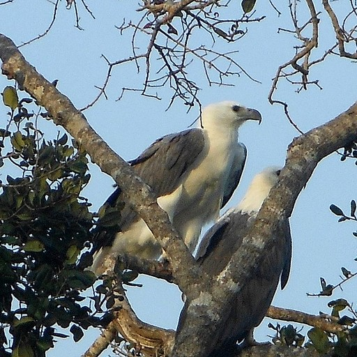 (White Bellied Sea Eagle (Haliaeetus leucogaster בשמורת בונדלה