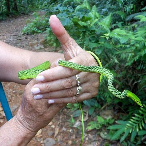 הנחש הירוק מיער הגשם