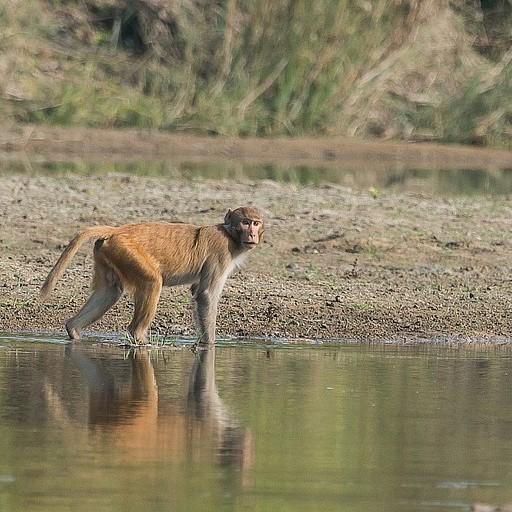 קוף חוצה את הנהר