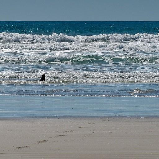כלב ים מציץ מהים
