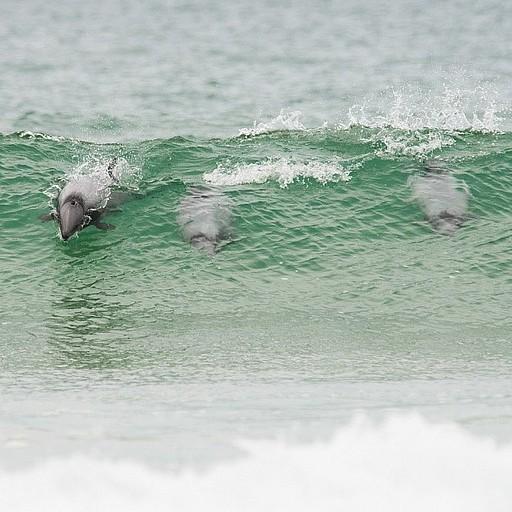 גם הדולפינים תופסים גלים!
